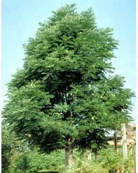 Kentucky Tobacco Tree