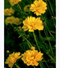Lanceleaf Coreopsis (Coreopsis Lanceolata)