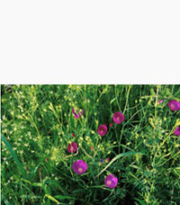 Purple Poppy Mallow (Callirhoe Involucrata)