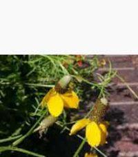 Yellow Coneflower (Ratibida Columifera)