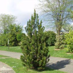 bosnian-pine-pinus-heldreichii
