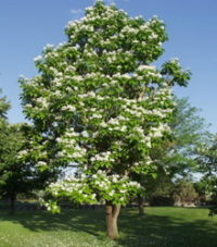 northern-catalpa-catalpa-speciosa