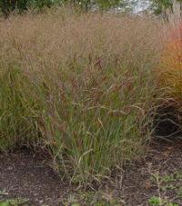 switchgrass-panicum-virgatum