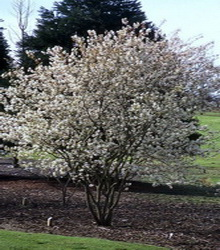 Saskatoon serviceberry extra large potted 4 h trees photos altavistaventures Gallery